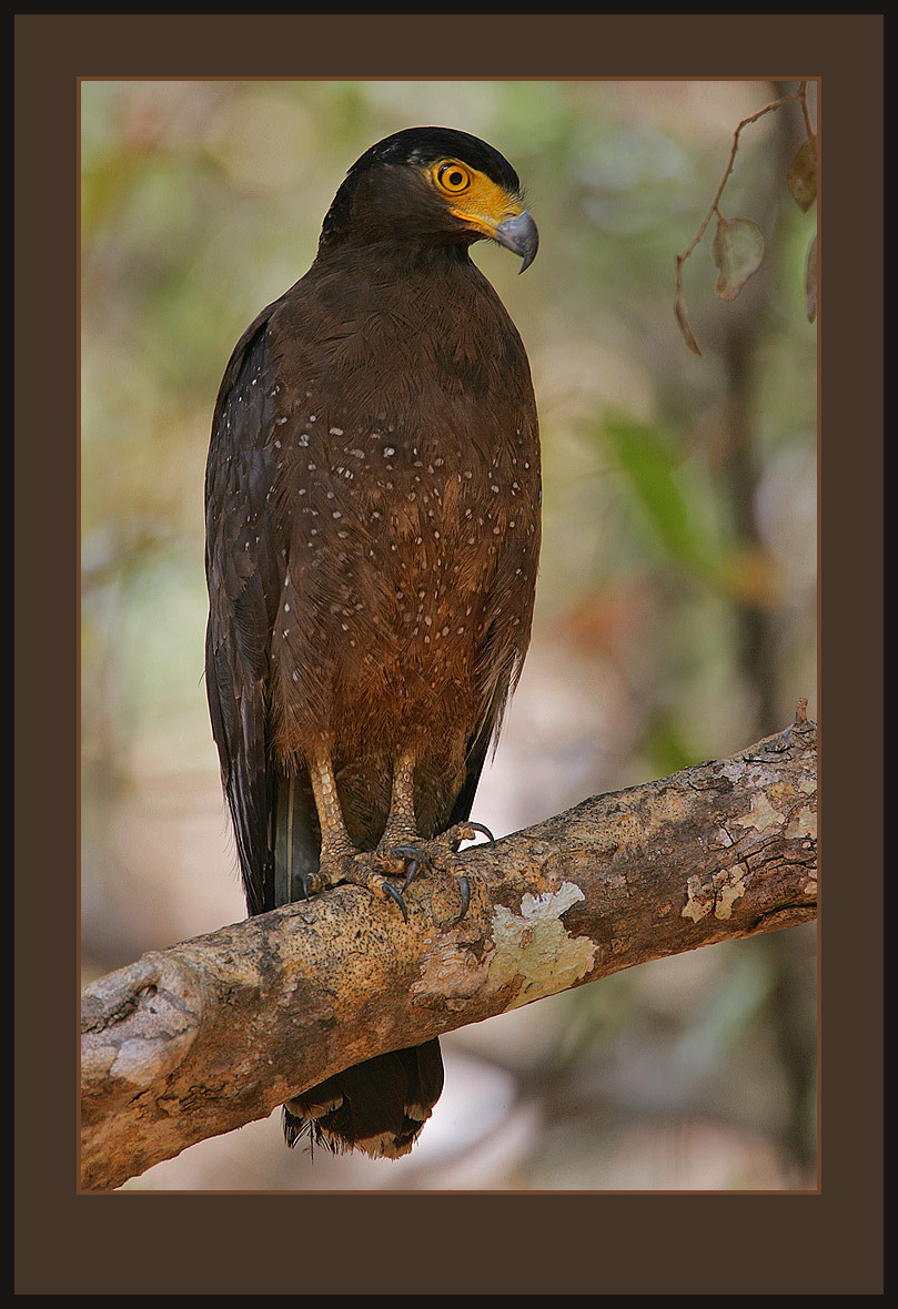Image of Crested serpent-eagle