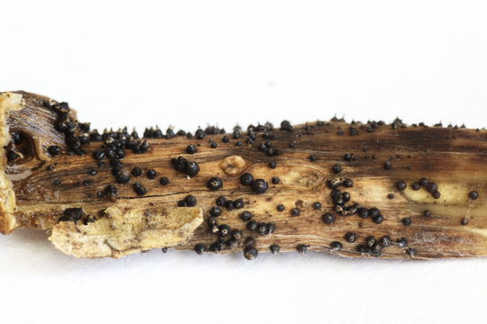 Image of <i>Leptosphaeria acuta</i> (Fuckel) P. Karst. 1873
