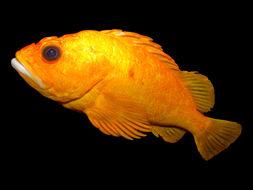Image of Yelloweye rockfish