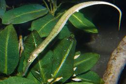 Image of Alligator Pipefish