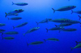 Image of Pacific Chub Mackerel