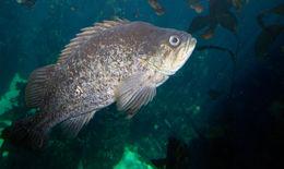 Image of Blackgill rockfish