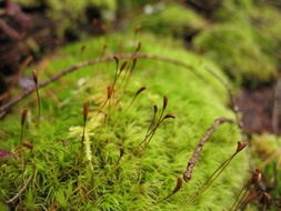 Image of dicranum moss