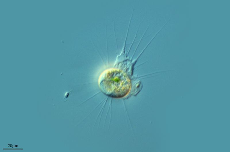 Image of <i>Baileyi mutabilis</i>