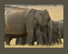 Image of Sri Lankan elephant