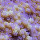 Image of Encrusting pore coral