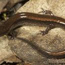 Image of Dwarf Salamander