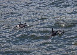 Image of Dusky Dolphin