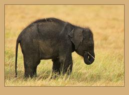 Image of Sri Lankan Elephant