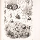 Image of <i>Phyllactinia guttata</i> (Wallr.) Lév. 1851