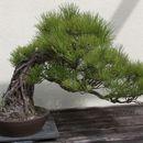 Image of Japanese Black Pine