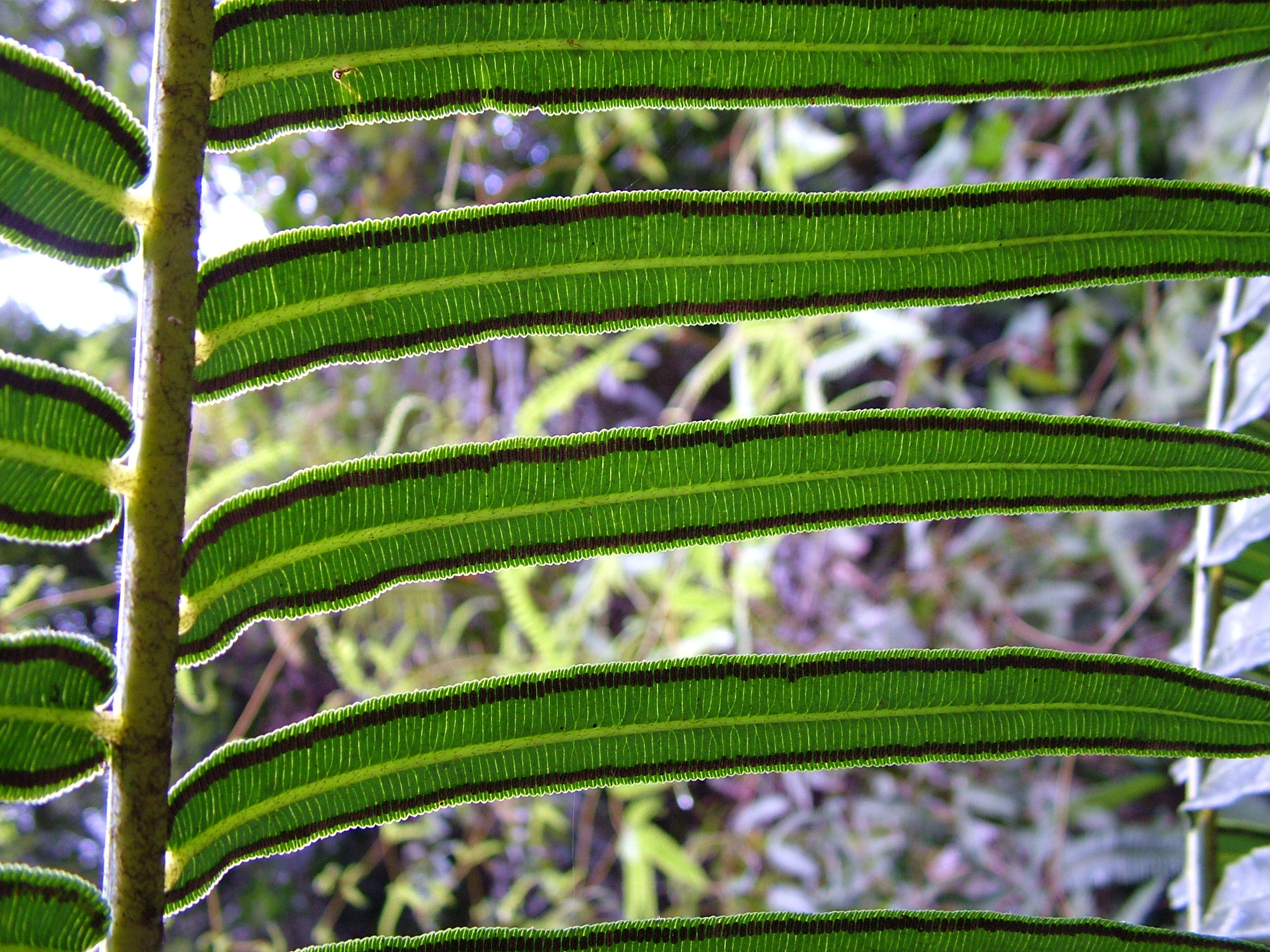 Image of Oriental vessel fern