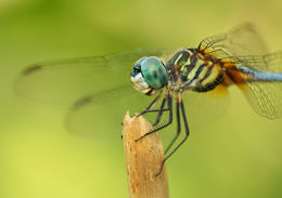 Image of Blue Dasher