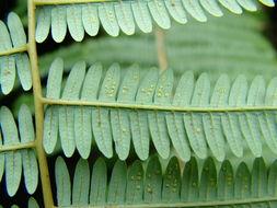 Image of <i>Diplopterygium longissimum</i> (Bl.) Nakai