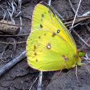 Image of Common sulphur