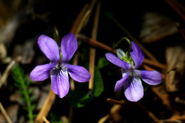 Image of <i>Viola sylvestris</i>