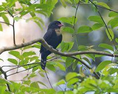 Image of Dusky Broadbill