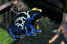 Image of Dyeing Poison Frog