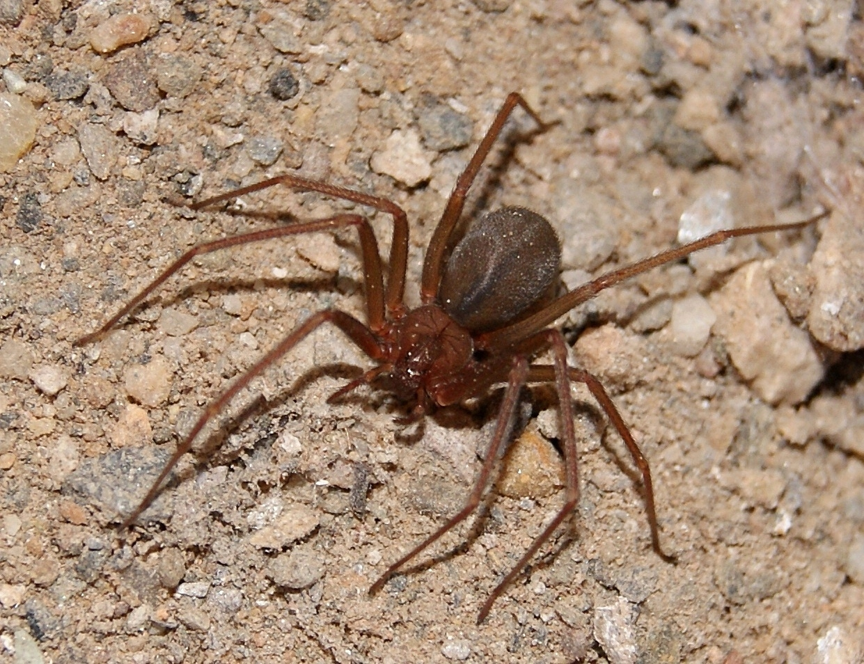 Image of Mediterranean recluse spider