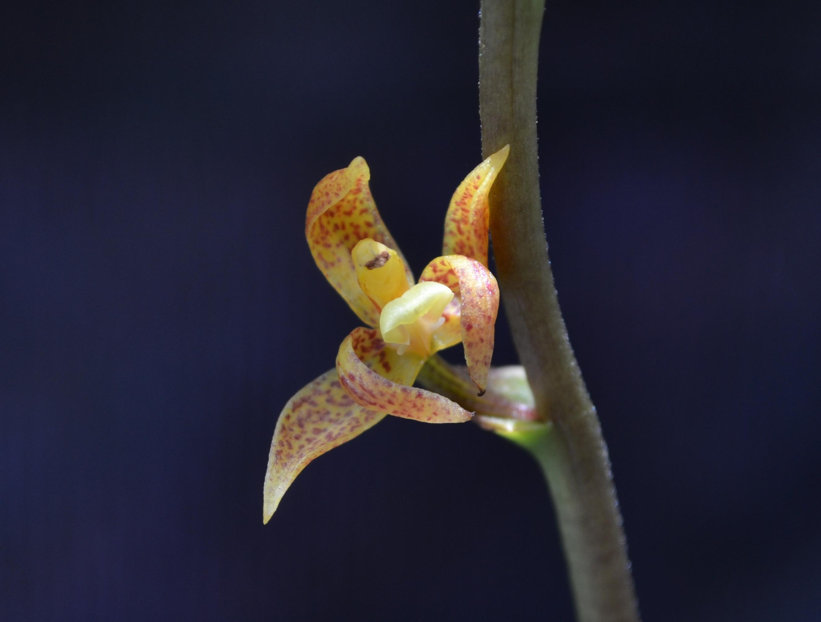 Image of <i>Plocoglottis javanica</i> Blume