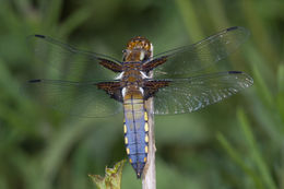 Image of Broad-bodied chaser