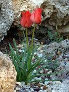 Image of <i>Tulipa linifolia</i> Regel