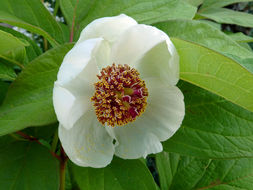 Image of Japanese forest peony