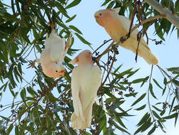 Image of leadbeater's cockatoo