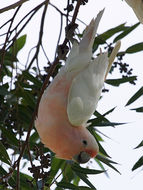 Image of leadbeater's cockatoo