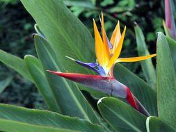 Image of Bird of Paradise