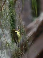 Image of Brown-throated sunbird