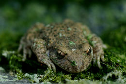 Image of common midwife toad