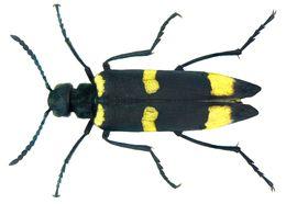 Image of <i>Mylabris damascena</i> Reiche 1866