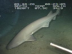 Image of Bluntnose Sixgill Shark