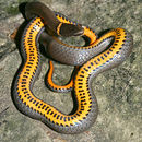 Image of Ring-necked Snake