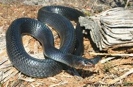 Image of indigo snake
