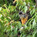 Image of Black Squirrel Monkey