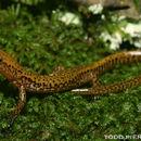 Image of salamanders