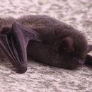 Image of Japanese Pipistrelle