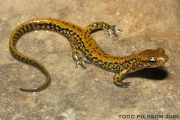 Image of Longtail Salamander