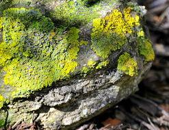 Image of orange wall lichen