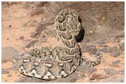 Image of Puff Adder