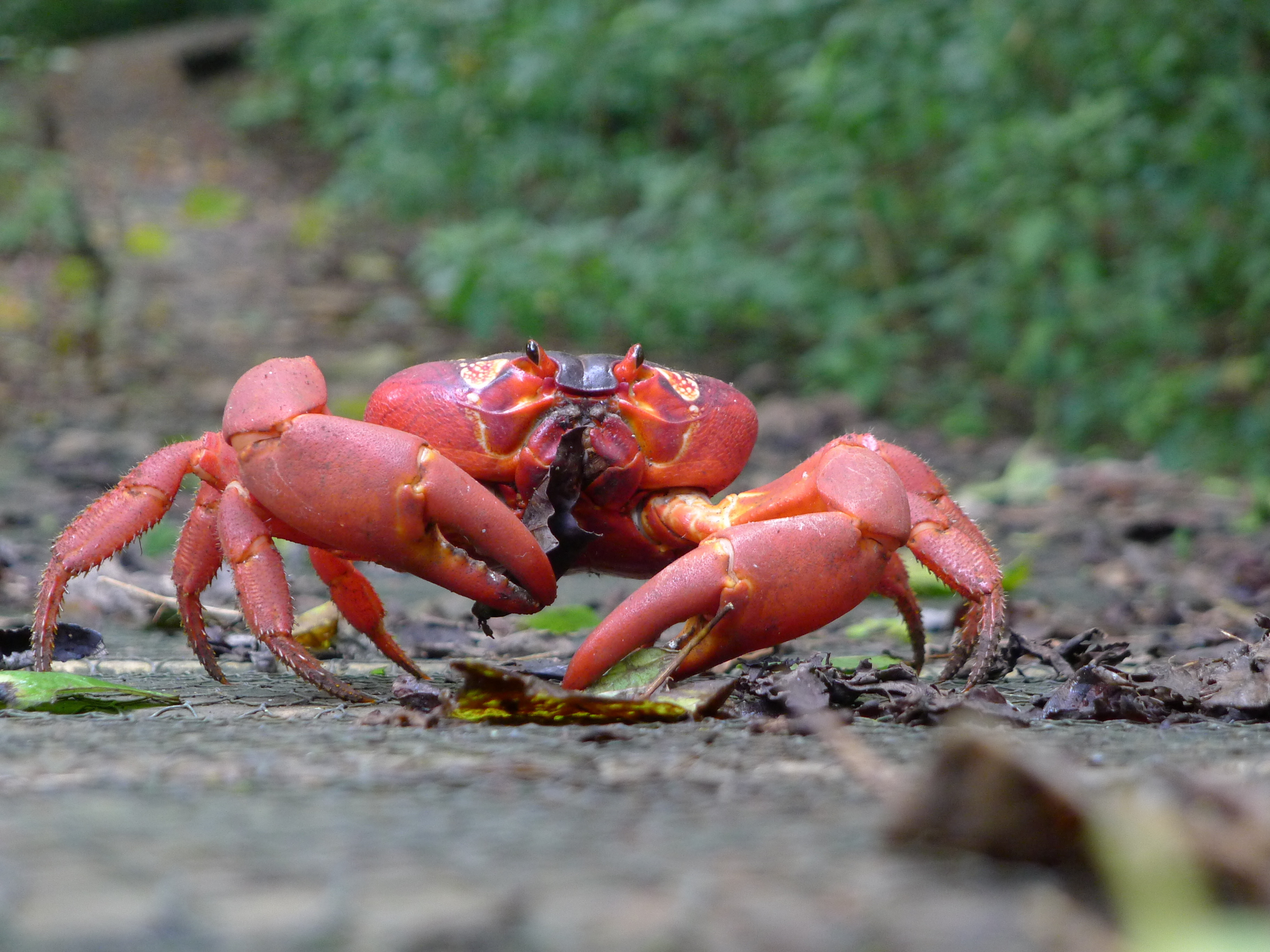 Image of Christmas Island red crab