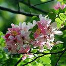Image of apple blossom