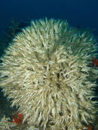 Image of Filigreed Coral Worm