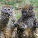 Image of Alaotra Reed Lemur