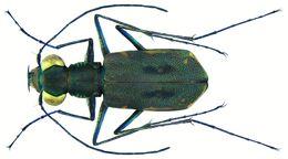Image of <i>Cylindera froggattii</i>