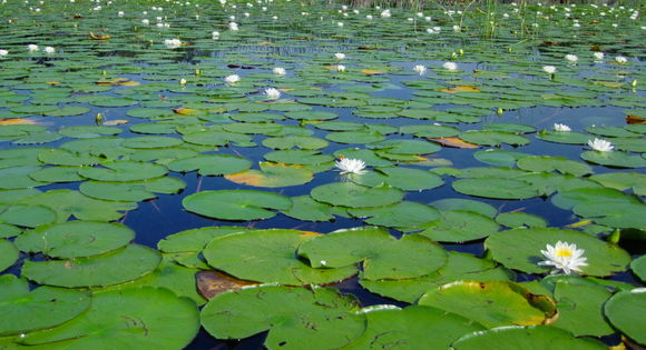 Image of American white waterlily