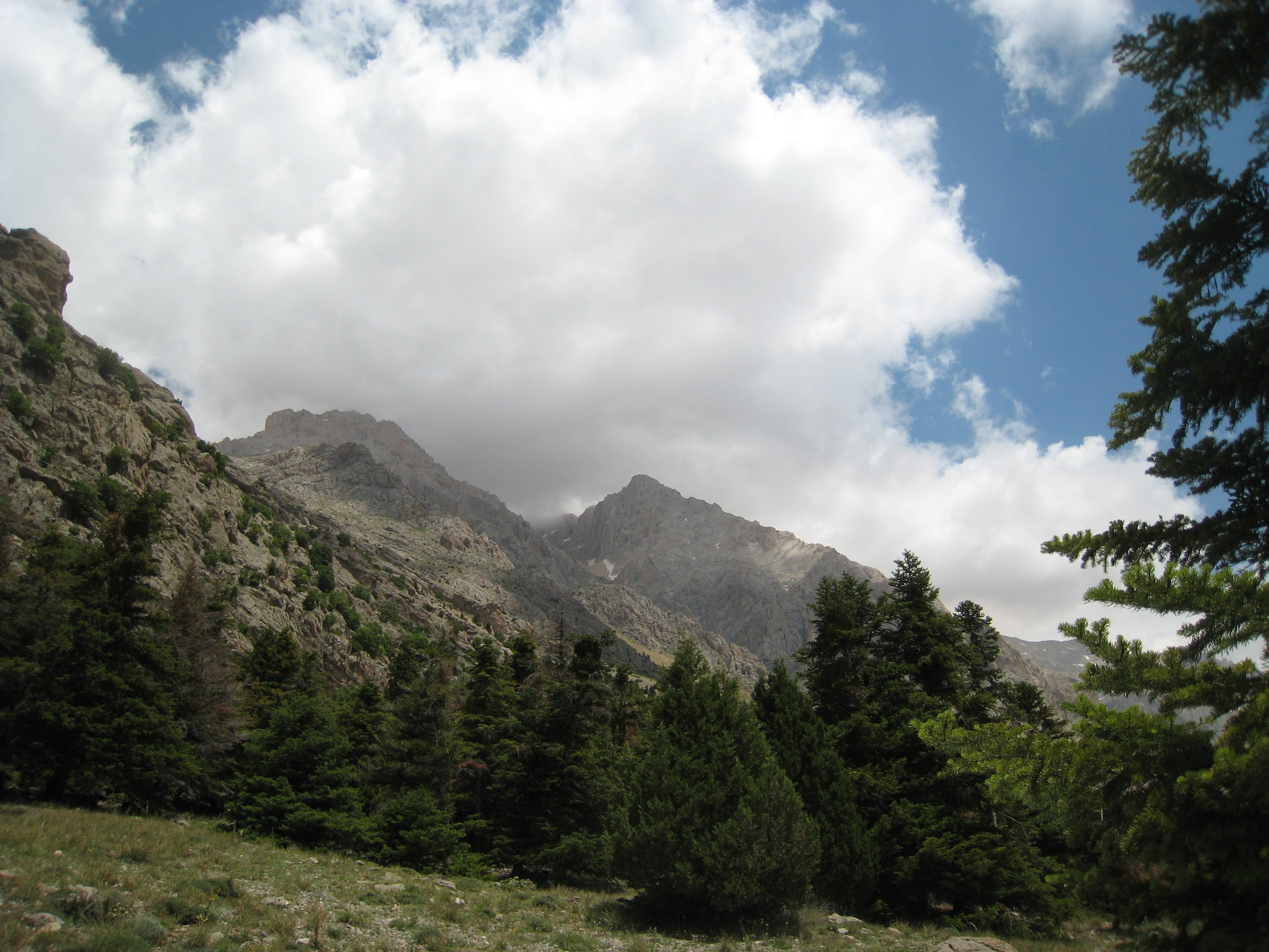 Image of Cilician fir