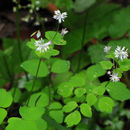 Image of mountain meadow-rue